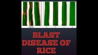 Blast disease of rice 🌱🌿🌿🌿🌿🌿