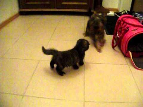 кошка и щенок знакомство