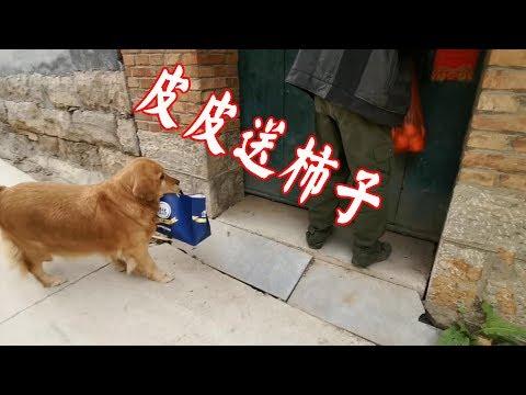 奶奶讓狗狗給東北三爺爺送柿子,老人腿腳不好,毛孩子一直送到家【我是趙姐】