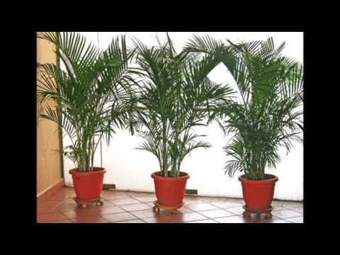 Арека - выращивание и уход. Описание, фото