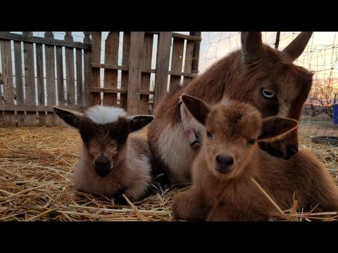 9 Baby Goats Born!