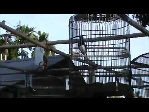 Kicau Mania - Full Isian Juara Internasional Burung KACER Gacor 2016