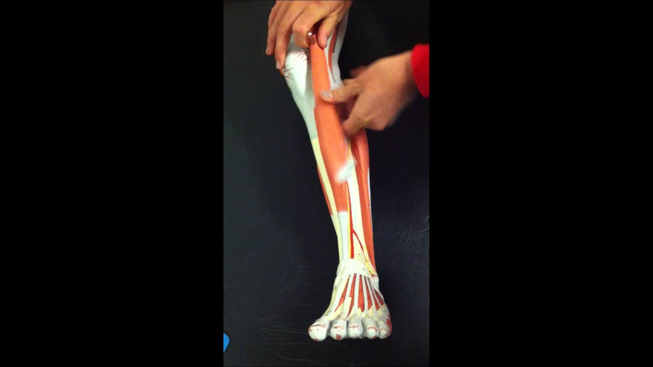 Byuh Anatomy Lab Lower Leg Muscles Anterior Tibialis To Peroneus