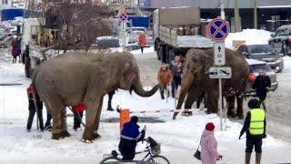 Dos elefantes de un circo italiano se van de marcha por las calles de Ekaterimburgo