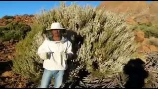 ver video: Elaboración de miel. Floración de la retama en el Teide.