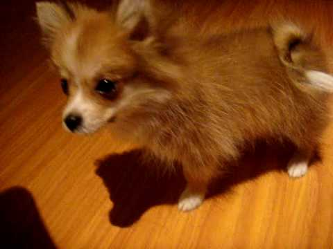 pomeranian puppy sneezing pomeranian puppy asthma or reverse sneezing youtube 620