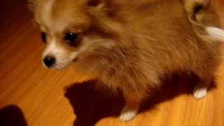 Pomeranian Puppy Asthma Or Reverse Sneezing?
