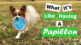 What It's Like to Have a Papillon // Percy the Papillon Dog