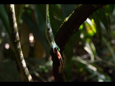 Parrot snake eating frog, Peru
