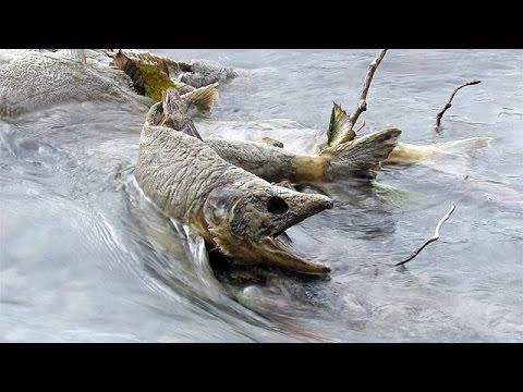 Pink Salmon Run ~ Squamish, British Columbia