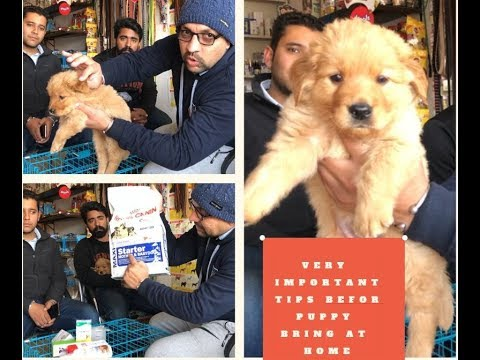 Very Important Tips Before Puppy Bring at Home - Bhola Shola