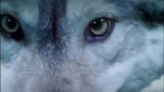 видео: Мальчик и Волк