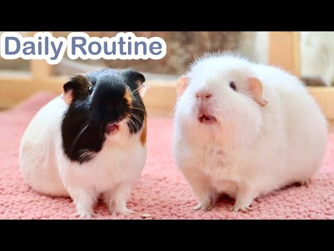 Daily Guinea Pig Routine 2020 | What's Life Like With 5 Guinea Pigs