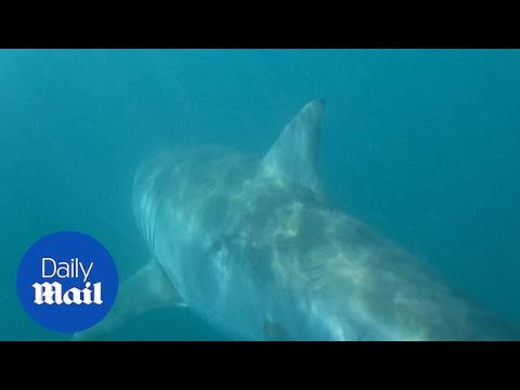 Fisherman Has A VERY Close Encounter With Great White Shark!