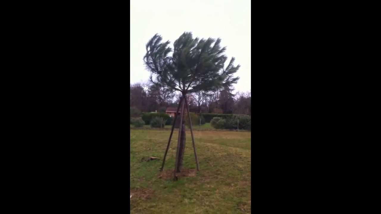 kit tuteur facile plantation d un arbre de type pin parasol en condition de vent