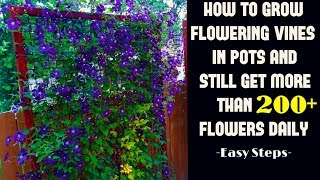 Grow Flowering Vines in Pot And Still Get 200+ Flowers Daily