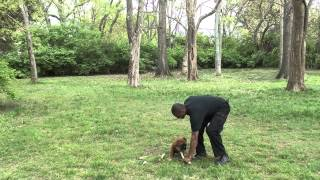 Guy Nashville Dog Trainer 071: Training A Boxer Puppy Obedience