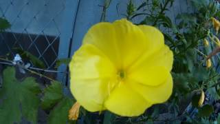 Желтая энотера