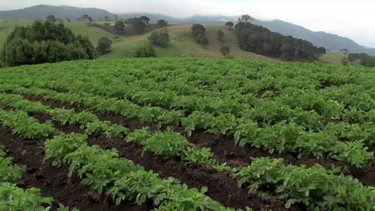 cultivo de papa patata tvagro by juan gonzalo angel