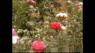 Malaysia - Cameron Highlands - Rose Valley