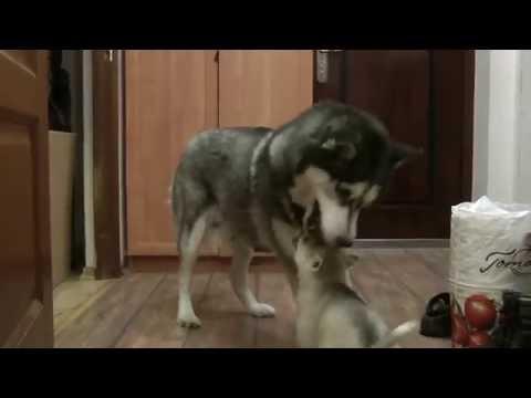 Вредный мелюзга / mischievous husky