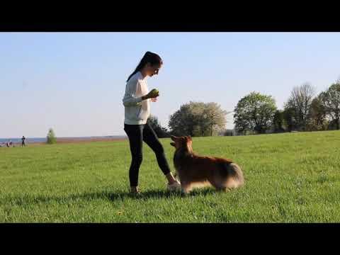 Dog tricks by sheltie Milo - 4 years old!