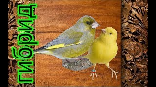 ГИБРИД  (канарейка Х зеленушка) птенцы выросли