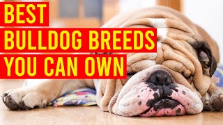 10 Best Bulldog Breeds You Can Own