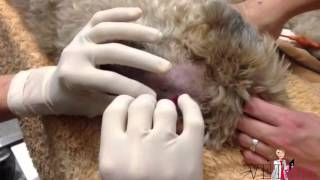 How to perform a cerebral spinal fluid (CSF) tap in a dog | VETgirl Veterinary CE Videos