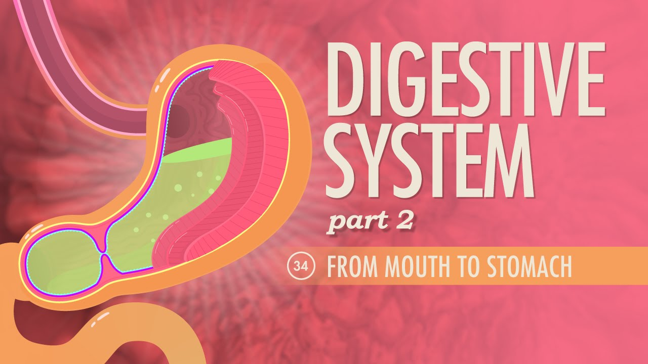 Digestive System, part 2: Crash Course A&P #34 - YouTube