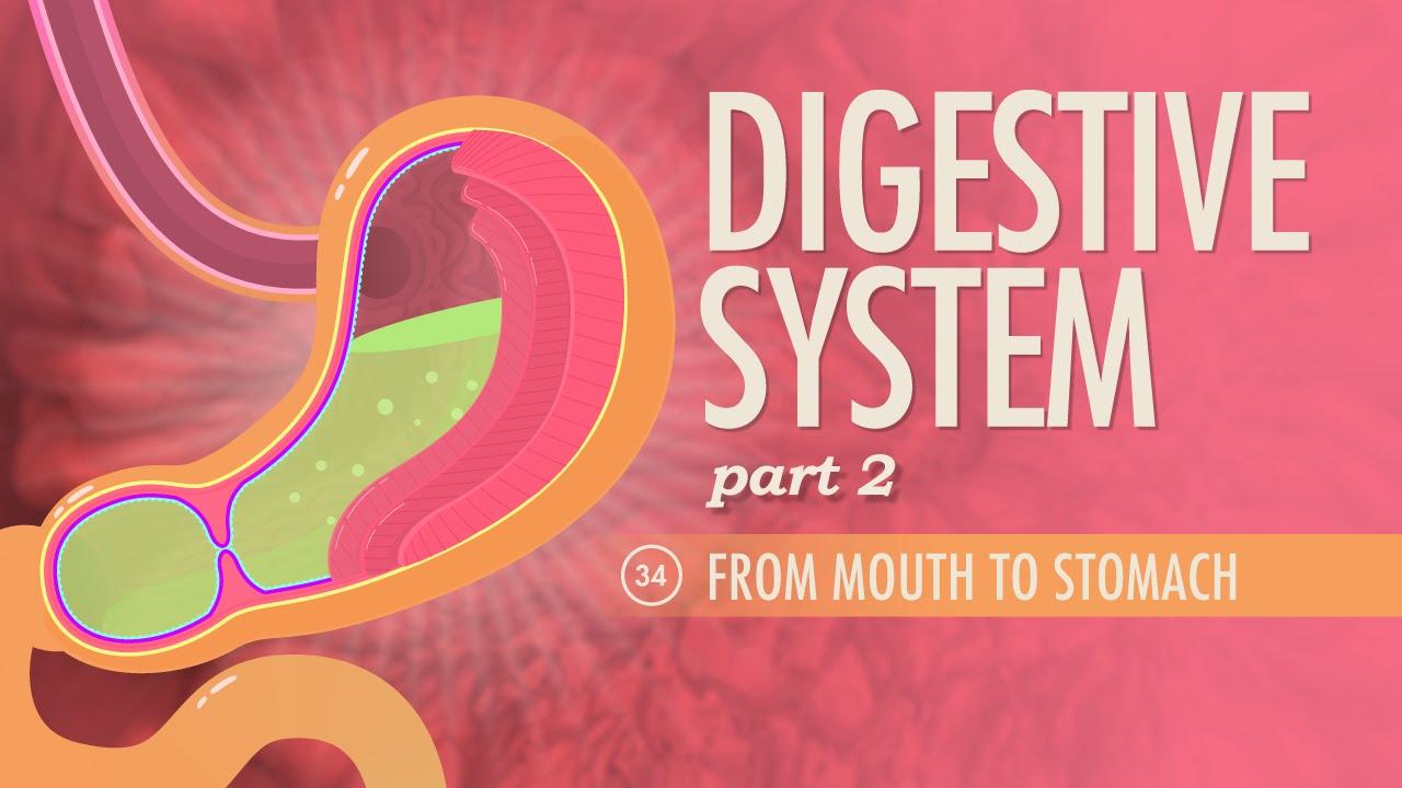 Digestive System, part 2: Crash Course A&P #34 - YouTube