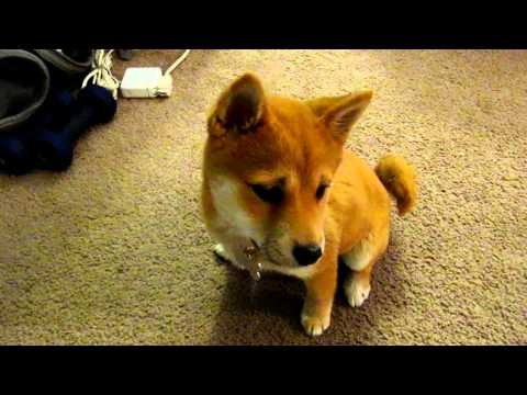 Shiba Inu -  wake up in the morning