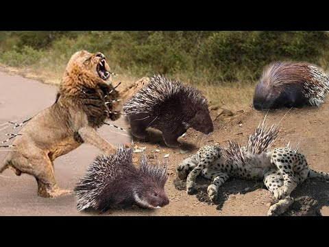 Porcupine Too Danger! Lion, Leopard and Python Risked Their Lives When Hunting Porcupine | Wildlife