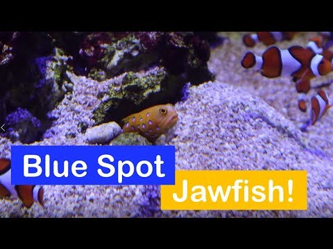 🐟 How To Care For A Blue Spotted Jawfish. Species Spotlight.