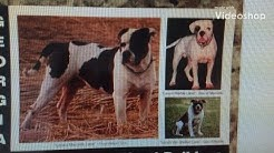 Alapaha Blue Blood Bulldog history lana lou lane, Real Alapaha Blue Blood Bulldogs