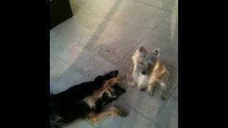 Chow Chow German Shepherd Mix, Playing With Cairn Terrier
