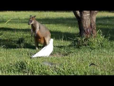 Australian Wildlife: Wallaby vs Cockatoo