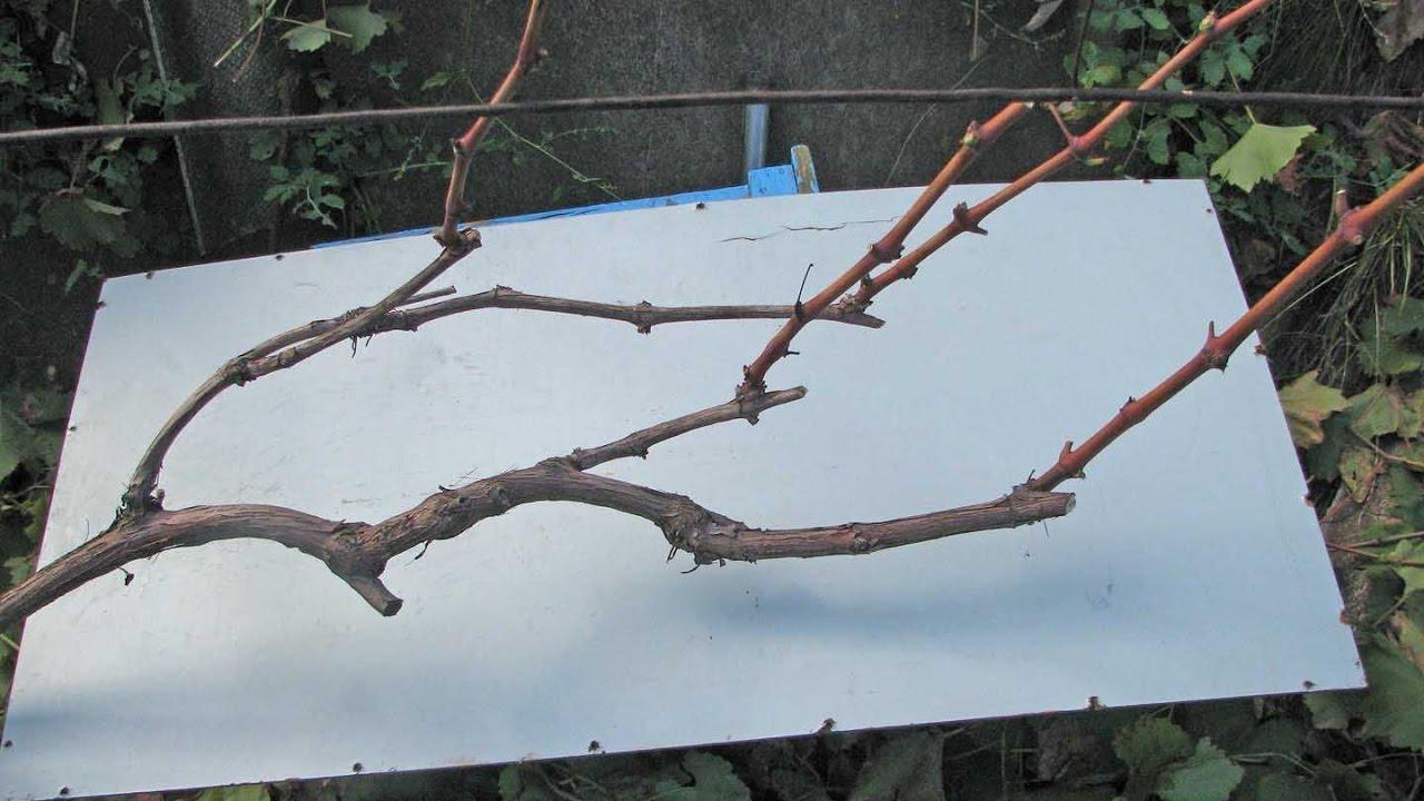 @Обрезка винограда осенью. Подготовка винограда к зиме