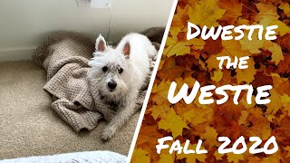 WEST HIGHLAND WHITE TERRIER PUPPY'S FIRST AUTUMN  | DWESTIE THE WESTIE