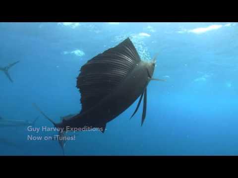 Sailfish - Get To Know Guy Harvey