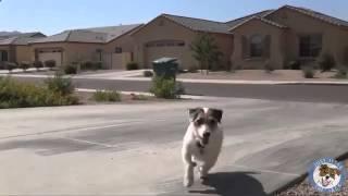 Самая умная собака в Мире попала в книгуГиннесса1