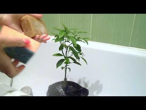 Как правильно помыть растения! Обработка от вредителей хозяйственным мылом