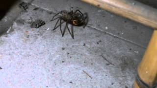 當小強遇上喇牙,會發生什麼事之二 (What will happen when a spider meets a cockroach.) thumbnail