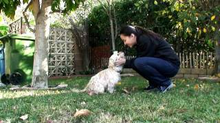 Cairn Terrier Does Amazing Jumping Through The Arm Trick! (0:37)