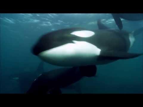 Blackfish   Official Trailer US (2013) Orca Tilikum