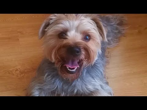 Maffie - Born To Run Yorkshire Terrier - Walking a Yorkie