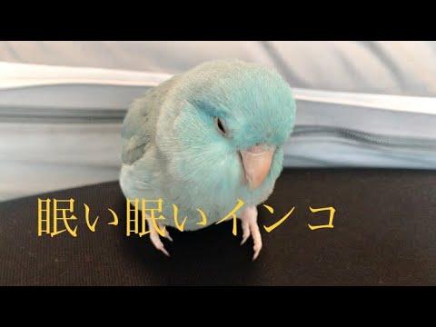 眠い眠いインコのまめちゃん Pacific Parrotlet マメルリハインコ