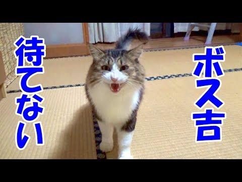 ボス猫は待ちきれない Boss cats can not wait