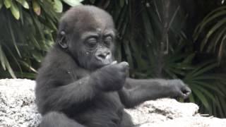 Cute Baby Gorilla(one-year-old) .かわいいゴリラの赤ちゃん(一歳)。...