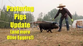Pasturing Pigs Update and more Olive Eggers Hatching